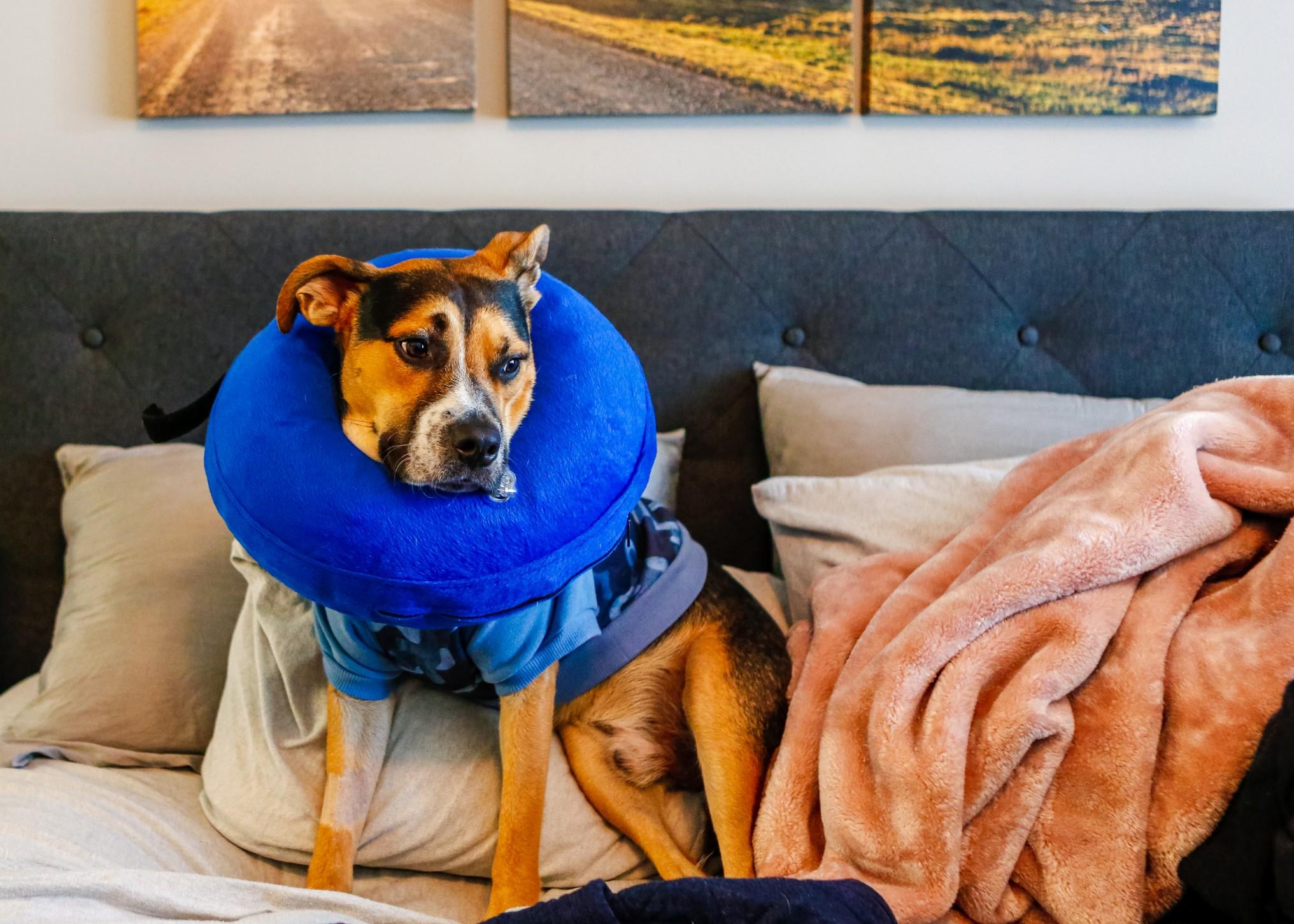 στείρωση σκύλου