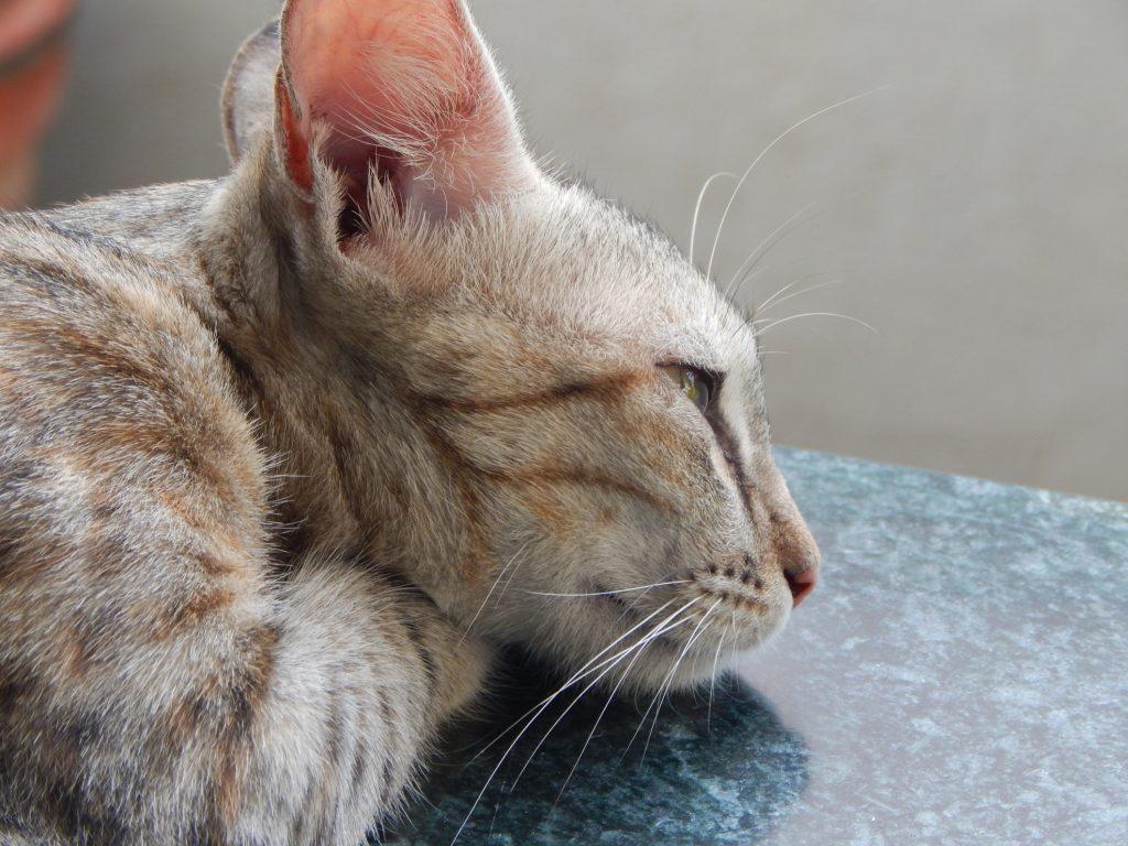 γάτες με ocd
