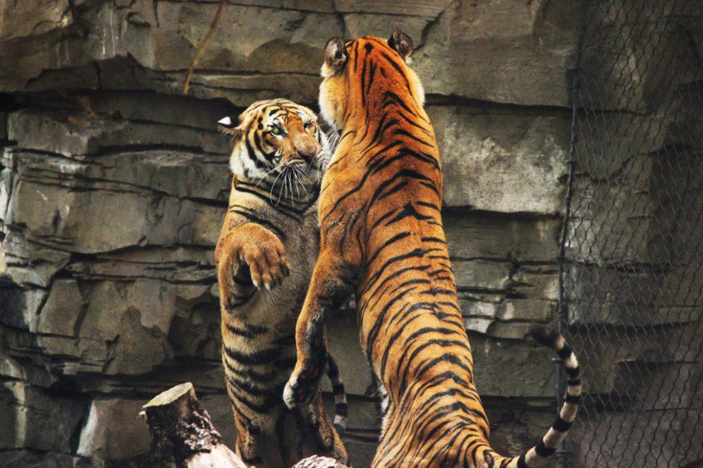 τιγρεις